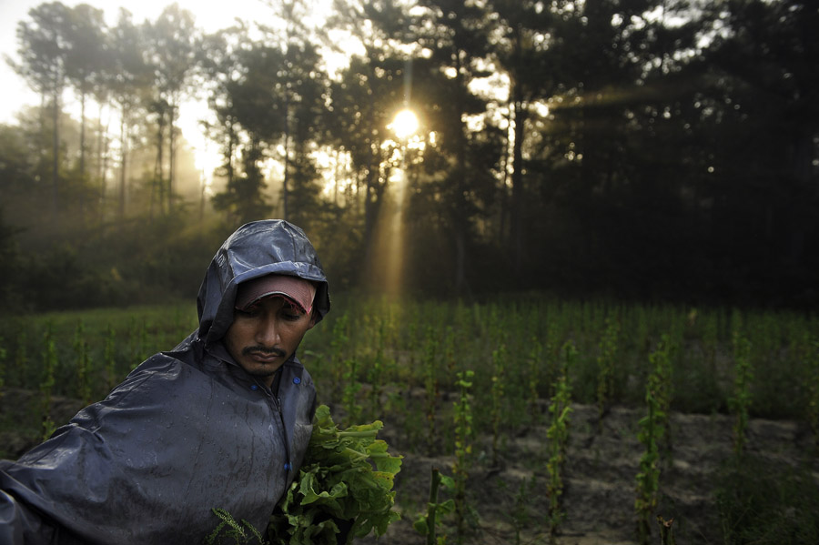 Ivan Leyva picks tobacco in a field on Friday August 30, 2013 in Warfield, VA.  The land and crop is owned by third generation tobacco farmer, Neil Corum.  The history of tobacco in Virginia can be traced back to Jamestown's John Rolfe.  (Photo by Matt McClain/ The Washington Post)
