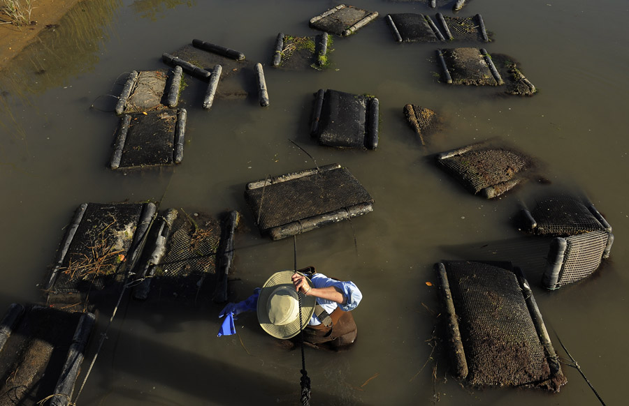 Alyson Myers of Kegotank Farm works with her company's oyster beds on Friday September 20, 2013 in Modest Town, VA.  (Photo by Matt McClain/ The Washington Post)