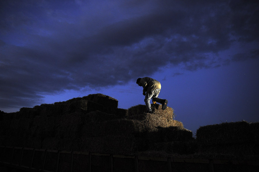 Michael Loper climbs on hay bales as he stacks them at property owned by Oasis Farms on Thursday September 19, 2013 in Suffolk, VA.  (Photo by Matt McClain/ The Washington Post)