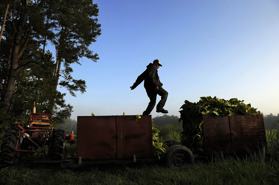 Boo Rose leaps from on cart to another as tobacco is picked in a field on Friday August 30, 2013 in Warfield, VA.  The land and crop is owned by third generation tobacco farmer, Neil Corum.  The history of tobacco in Virginia can be traced back to Jamestown's John Rolfe.  (Photo by Matt McClain/ The Washington Post)