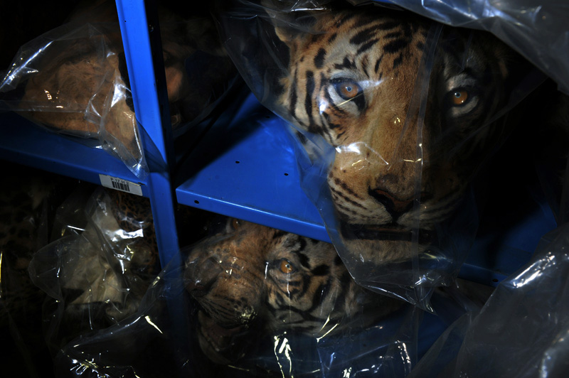 Confiscated Tiger, right, and Leopard heads, left, sit on shelfs in the warehouse as examples of some of the 1.5 million items in inventory at the U.S. Fish & Wildlife Service National Eagle & Wildlife Property Repository in Commerce City, Colo. on Tuesday 04/27/10.  Photo by Matt McClain for The Wall Street Journal