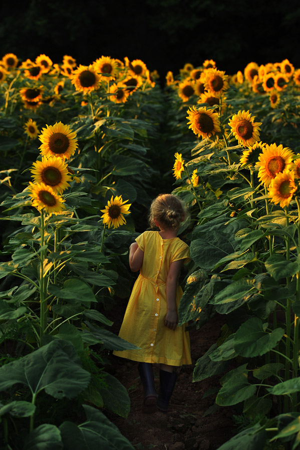 Elsa Black, 5, of Alexandria, VA explores a sunflower field with her family at McKee-Beshers Wildlife Management Area on Tuesday July 16, 2013 in Poolesville, MD.  (Photo by Matt McClain/ The Washington Post)