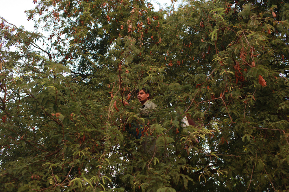 An asylum-seeker from Pakistan, living in a low income building occupied by asylum-seekers, on the outskirts of Bangkok city, searches a tree in front of his room for a fruit called {quote}imli,{quote} which is a sweet snack that is known to cool the stomach when it's mixed with water. April 17, 2015.