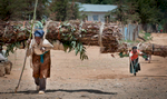 women transporting eucalyptus for firewood