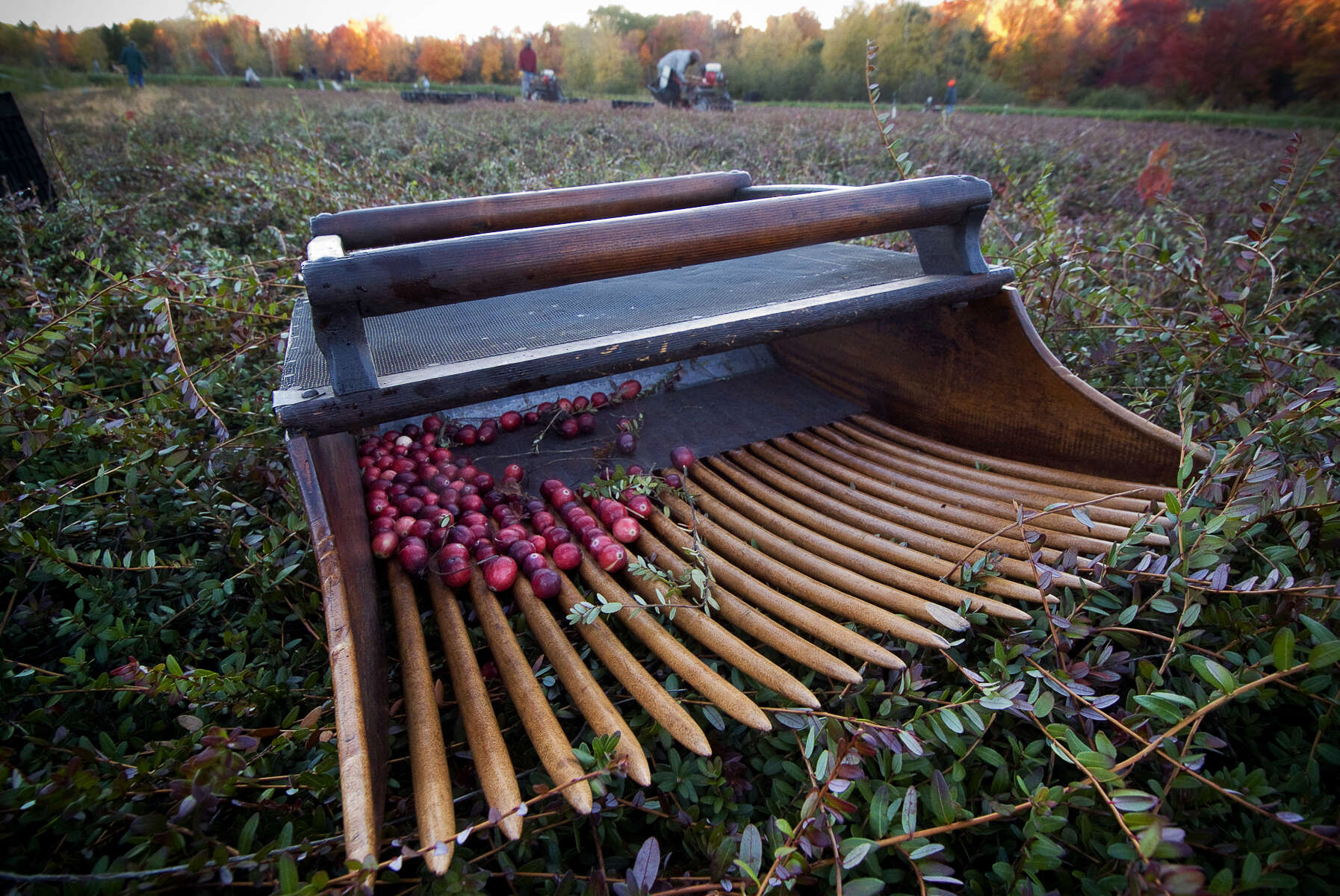 Cranberries-RH-_0156