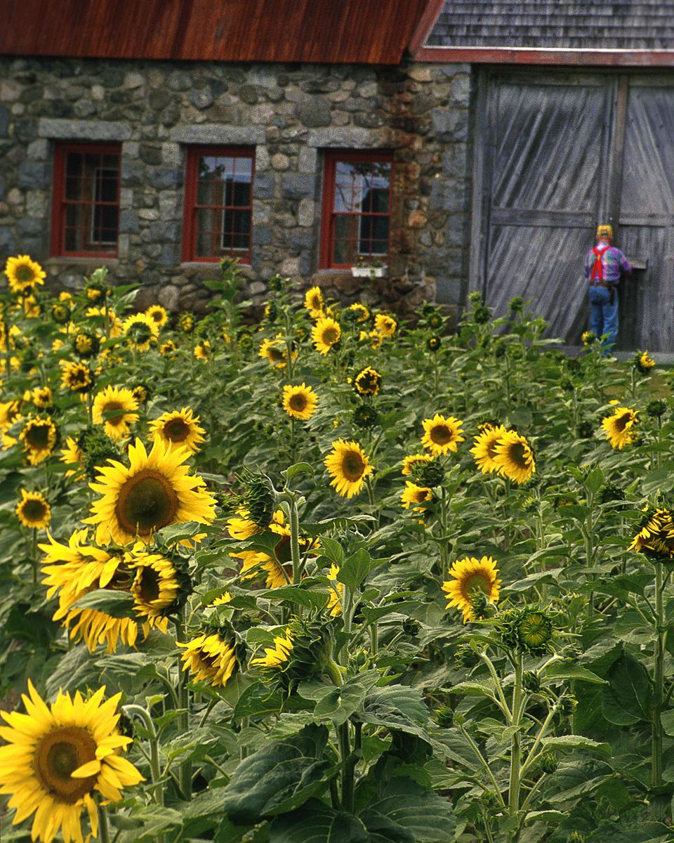 Stone-Barn-Sunflowers-sh-d