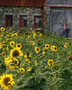 Stone-Barn-Sunflowers-sh-d