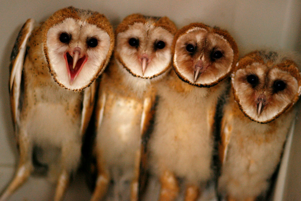 Barn owls cluster in their cage at the Wildlife Rehab & Education center in Houston.