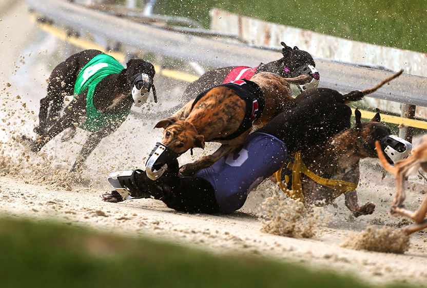 Dogs collide at high speeds during a race at the Mobile Greyhound Park in Theodore, Ala., on Wednesday July 23, 2014. The facility is one of only two racetracks in the state and revenue the Mobile County Racing Commission collects is at it's lowest point in the track's 40-year history.