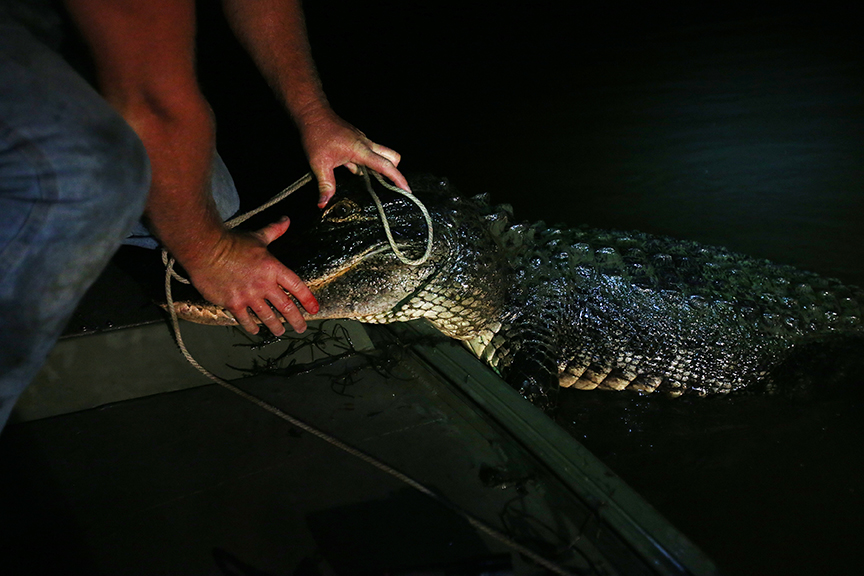 Keith McKenzie from Semmes, Ala., catches and releases an 8-foot alligator in the Mobile-Tensaw Delta on the opening night of the 2014 regulated alligator hunt in Mobile, Ala., on August 14, 2014.