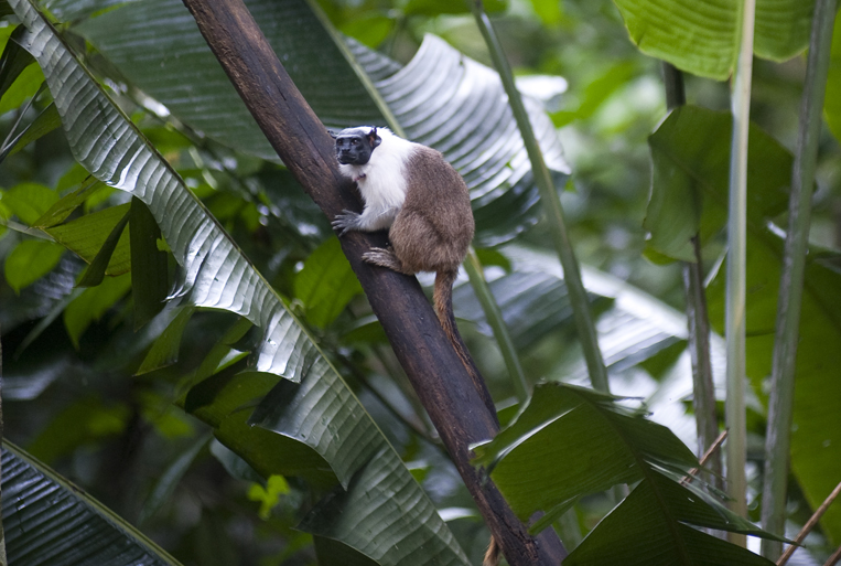 The Pied Tamarin is an endangered primate found only in the rainforest around Manaus, Brazil. Their habitat is shrinking as the city grows and they are being trapped in isolated patches of forest. Photographed on Friday, March 16, 2012.