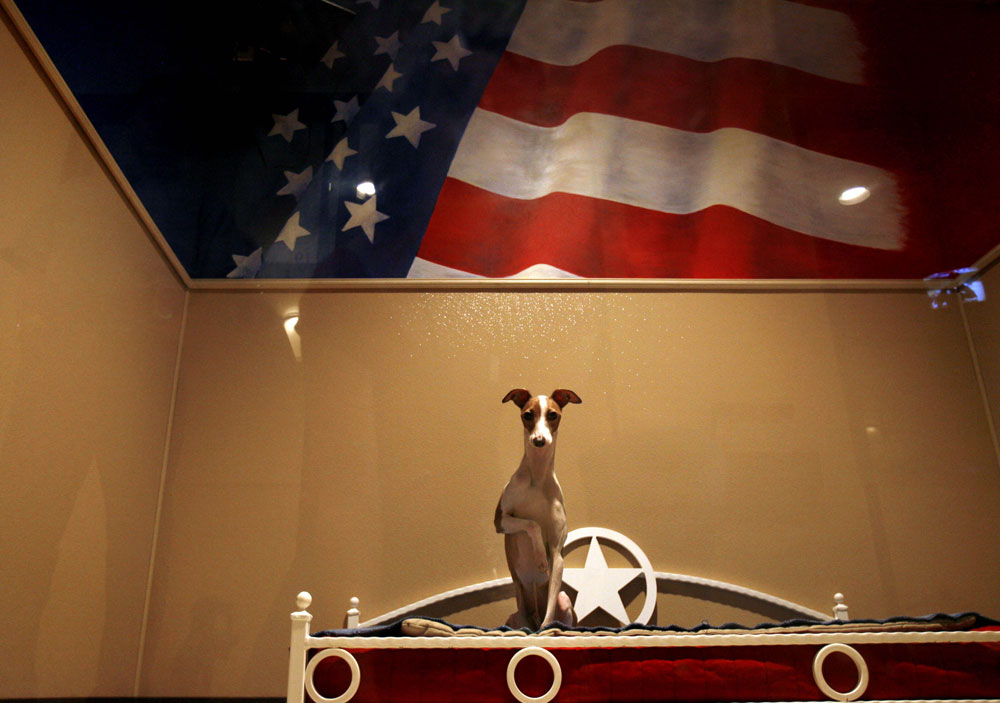 An Italian Greyhound sits in a patriotic-themed luxury suite at Rover Oaks Pet Resort in Houston. Rover Oaks boards pets in luxury suites fully equipped with a TV.