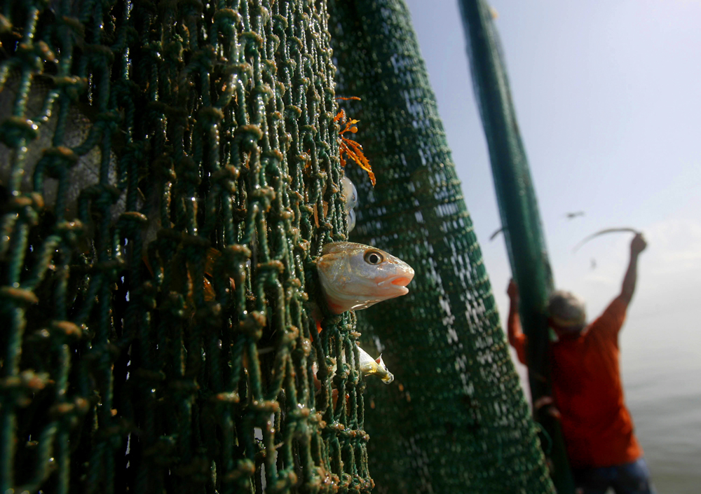 Deck hand Ed Bass pulls trapped fish from the net at the end of a shrimping run on a shrimp boat called {quote}Persistence{quote} in San Leon, TX.