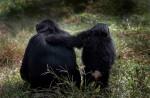 Ngamba Island Chimpanzee Sanctuary
