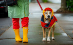 The first rain since June 28 broke a 39-day dry spell in Eugene, Ore., and that meant that 13-year-old Nana had to don her protective gear for a walk with her person, Marti Black, along 5th Avenue on August 6, 2020. (Andy Nelson/The Register-Guard via AP)