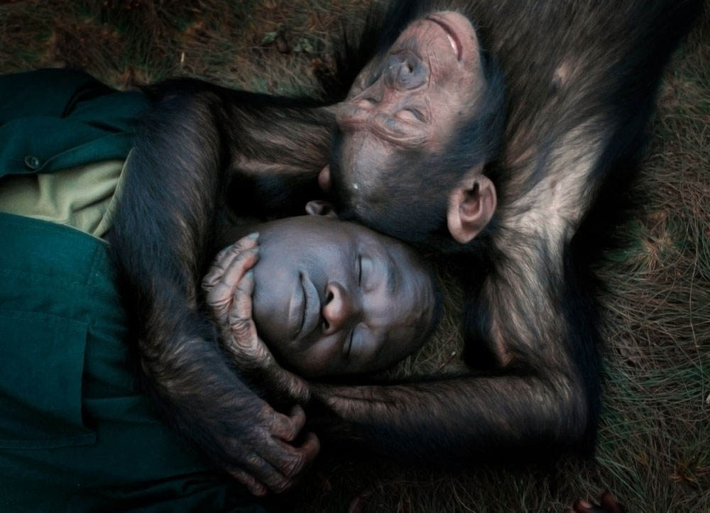 Robert Okello, a caregiver at Ngamba Island Chimpanzee Sanctuary in Uganda, rests with a young chimp after playing on a forest walk on the 100-acre island.
