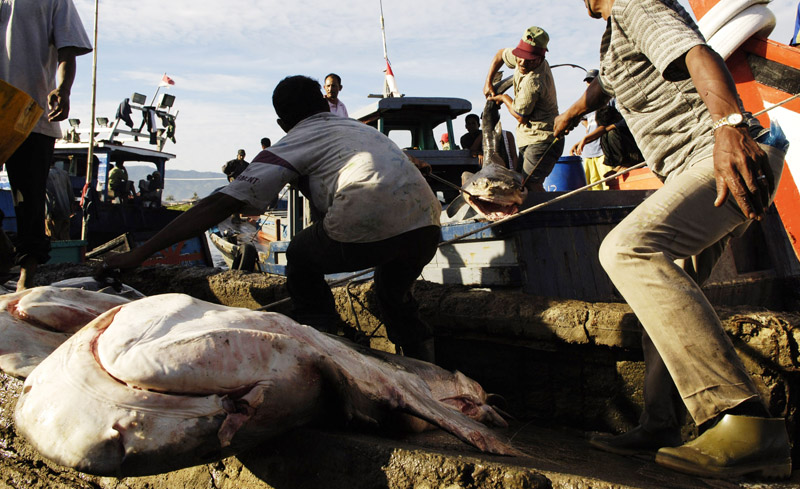 Fisherman struggle to take a shark from a ship's hold to the dock in Lampulo to be sold and then distributed from the docks at Lampulo to markets throughout Banda Aceh, Indonesia. Sharks are especially prized for their fins fetch high prices from buyers.