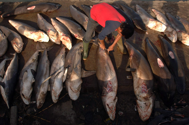 Sharks are especially prized for their fins that fetch high prices from buyers and are considered a delicacy in many Asian countries. Banda Aceh has traditionally had a thriving fishing industry but many of the boats were lost in the December 24, 2004 tsunami. Some are raising alarms that new boat building will enlarge the fleet beyond pre-tsunami levels creating the potential for overfishing.