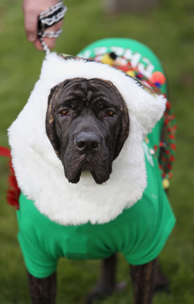 Odysseus, was donned festive attire while at the start of Oregon's Ugliest Sweater Run. Odysseus owner, Mike Guggenmos, was part of the security team at the event in Eugene on Sunday, December 7, 2014. (Andy Nelson/The Register-Guard)