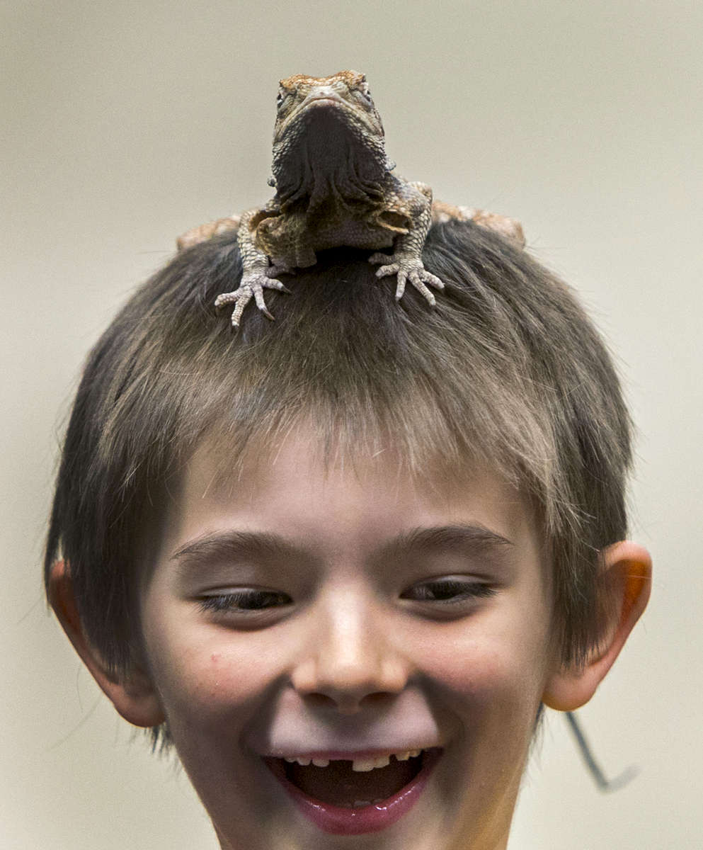 Brennan Vinje reacts to having a frilled dragon lizard on top of his head during a reptile-based demonstration by  Richard Ritchey at the Springfield Public Library in Springfield, Ore., on Tuesday, December 30, 2014. Ritchey is based in Molalla, Ore. has been showing snakes and reptiles for 20 years and does about 500 shows each year with snakes and lizards. (AP Photo/The Register-Guard, Andy Nelson)
