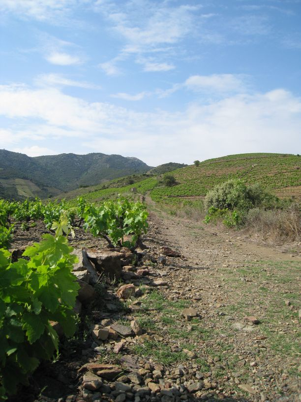 The hills are terraced with sweet Grenache grapes.