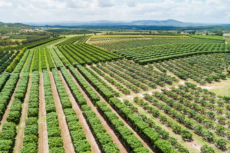 Aerial view of rows of mango trees on a farm, Atherton Tablelands