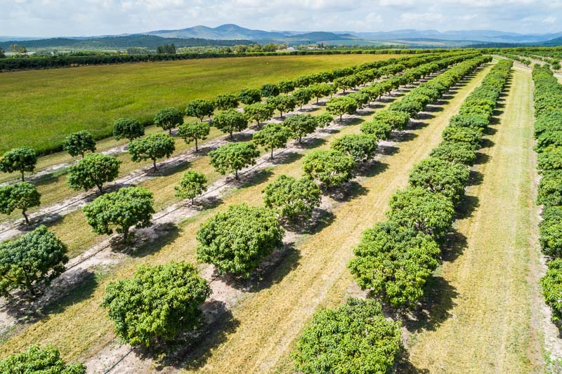 Aerial view of mango trees in rows at a Mutchilba farm, on the Atherton Tablelands