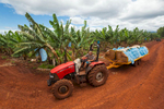 View of tractor towing load of harvested bananas, Atherton Tablelands