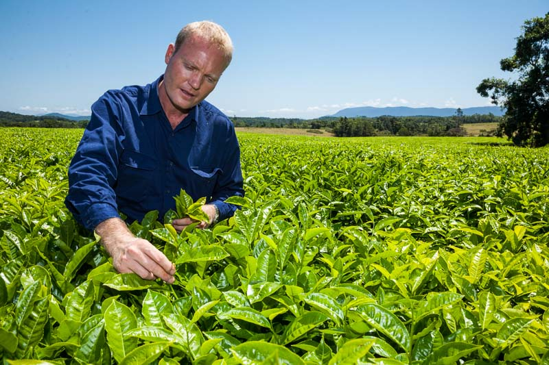 Worker inspecting tea leaves growing in a plantation, Atherton Tablelands