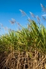 Sugar cane flowering in cane paddocks, Cairns