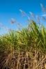 Sugar cane flowering in cane paddocks, Cairns
