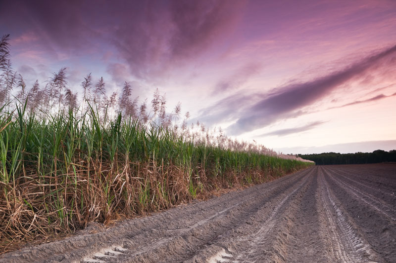 Sugar cane in flower next to a plowed paddock at twilight, near Cairns