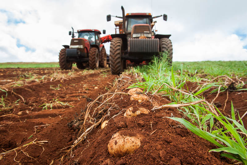 Potatoes in the ground being mechanically harvested, Atherton Tablelands