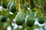 Avocado fruit on the tree, Atherton Tablelands