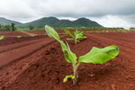 Young banana tree growing in rich red soils of a plantation near Cairns