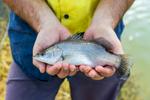 Hands holding a juvenile barramundi fish at a fish farm, near Cairns
