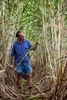 Sugar cane farmer inspecting cane stalks in a field at his Tully farm