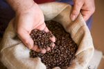 Hands pulling freshly roasted coffee beans from a sack, Atherton Tablelands