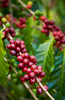 Red coffee cherries on the vine, Atherton Tablelands