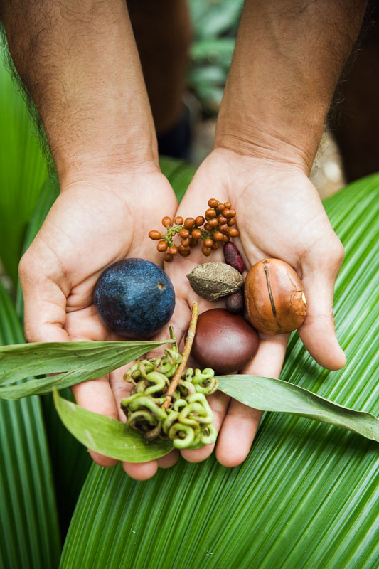 Hands holding rainforest seeds and fruits - used at traditional bush foods by Indigenous Australians