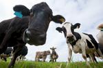 Portrait of curious dairy cows up close, Malanda