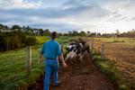 Farmer herding cows through paddocks near Malanda on the Atherton Tablelands