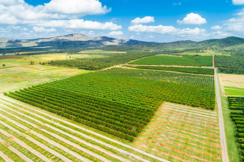 Aerial view of mango tree plantation at Mutchilba, Atherton Tablelands