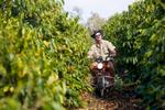Farmer on motorbike inspecting rows of coffee trees, Mareeba