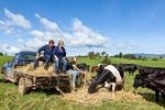 A family feeding dairy cows hay from the back of their pickup truck