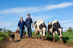 A dairy farming couple walking dairy cows into the paddocks, Millaa Millaa