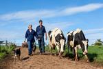 A dairy farming couple walking dairy cows into the paddocks, Millaa Millaa