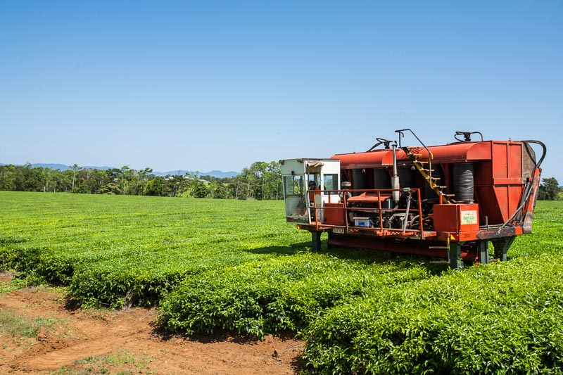 A mechanical harvester havestering tea leaves at tea plantation, Atherton Tablelands