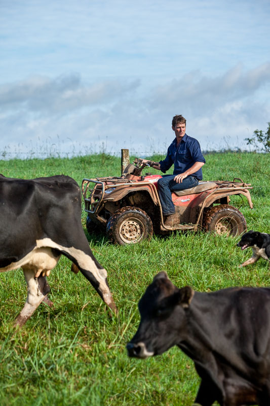 A dairy farmer on quad bike rounding up dairy cows, Atherton Tablelands