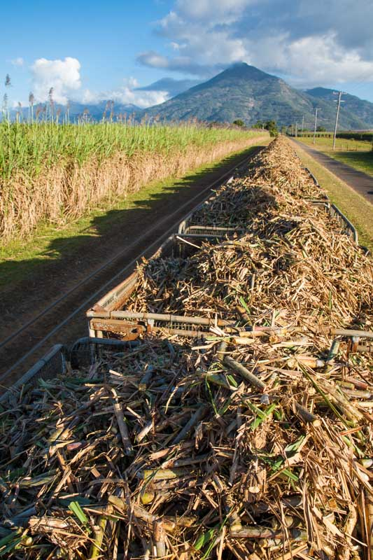 View atop a cane train bin loaded with fresh cut sugar cane, Cairns